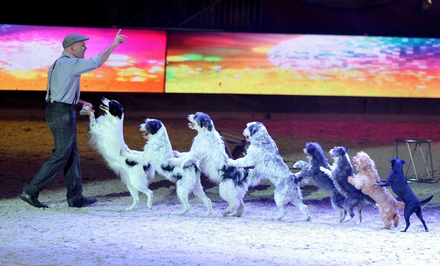 Showtime! Wolfgang Lauenburgers Hunde sind wieder los bei der Amadeus Horse Indoors 2017. © Nini Schäbel